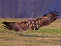 White tailed Eagle