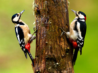 Great spotted Woodpecker pair