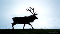 Magnificent Wild Scottish Stag 2