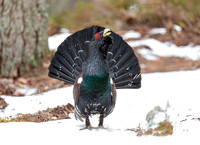 Capercaillie and Black Grouse