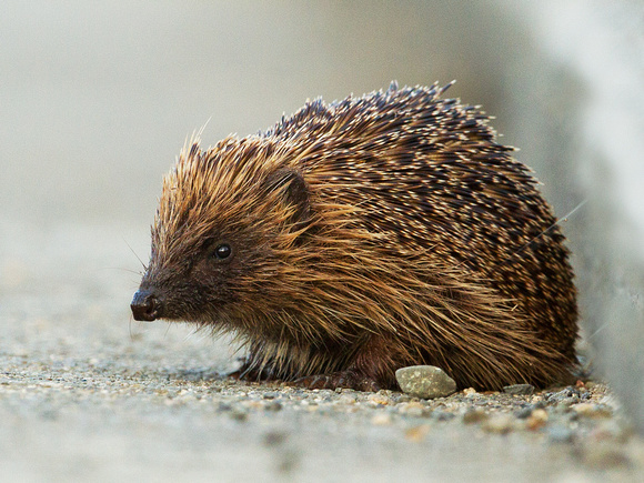 Hedgehog on the BBC  Nature website
