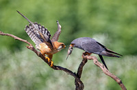 Red Footed Falcon Pair